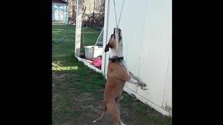 Hanging Around: Dog Swings On Rope Swing - Video