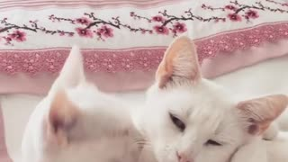 Kitten Playing with Mumy - Video