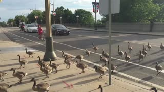 Geese crossing stops traffic in Canada's capital