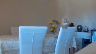 Kitten delivers very cute jump scare - Video