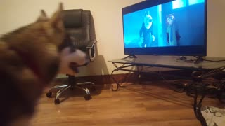 Husky Reacts to Howling Videos!  - Video