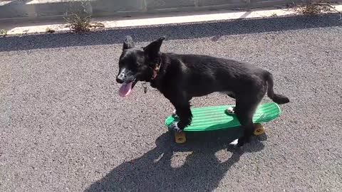 Talented dog rides a skateboard with ease!