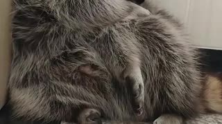 Raccoon washes his body by himself in the morning