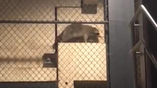 Racoon seen at citi field - Video