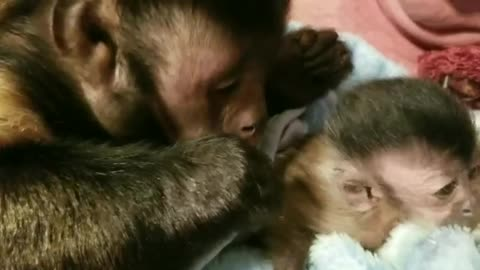 Monkey Meets His New Baby Monkey Sister