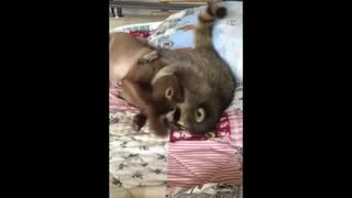 Raccoon Tries to Make Friends With Dog - Video