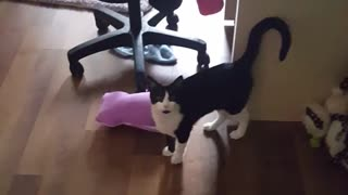 Volume black and white cat scared by owner's singing - Video