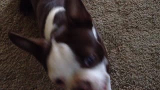 Pair of Boston Terriers demonstrate impressive tricks - Video