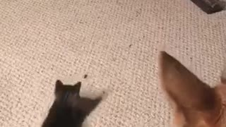 Cat jumping up and down  - Video