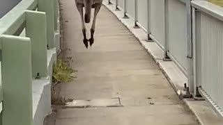 Huge Kangaroo Hops Past Pedestrians on Bridge