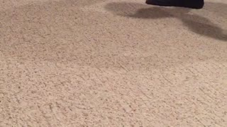 Black and white dog dragged on carpet by toy - Video