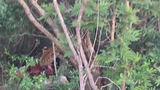 Leopard feeds on impala - Video