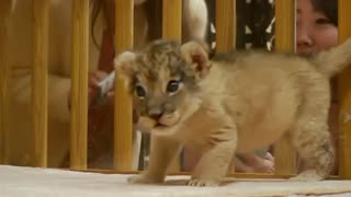 Two baby lions make first public appearance at Japanese park