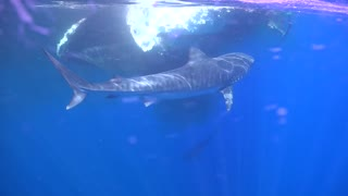 Hungry Tiger Sharks Circle a Whale-Sized Meal
