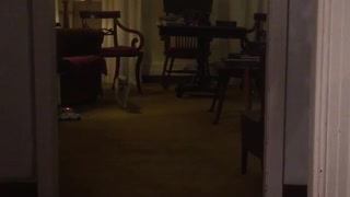 White dog walks across wood floor towards camera - Video