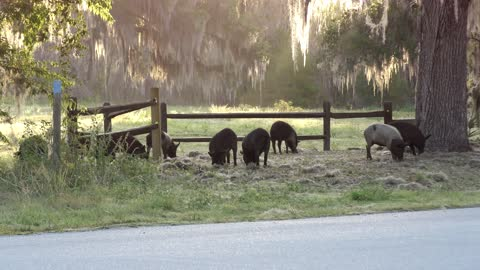 wild hogs in Florida park