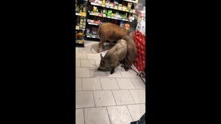 Pigs Peruse Grocery Store Goods