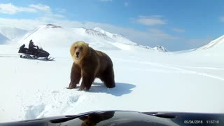 Curious Snowmobilers Have Close Encounter With A Brown Bear  - Video