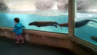Cute Otters Chasing Little Girl - Video
