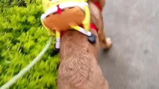 Dog walking around with spongebob backpack - Video