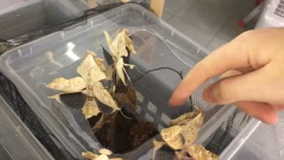 Angry Dead leaf Mantis Group - Video