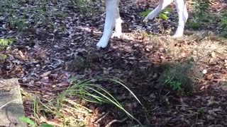 White dog walks slowly through leaves - Video