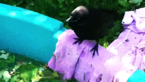 Rescued baby crows play in bird pool