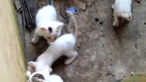 Mother Cat and her kittens from Calicut, Kerala, INDIA