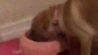 Owner makes farting noise and scares brown dog while drinking water