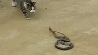 Cat and Snake - Video