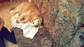 Golden Retriever is so tired, that he can't move on the couch  - Video