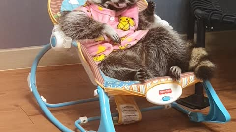 Raccoon lies in the baby lounge, licking his hands and getting ready to sleep.