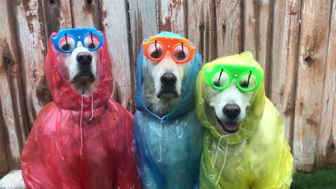 Totally chill dogs keep calm and enjoy the rain in appropriate attire