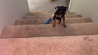 Little puppy in cast climbs stairs