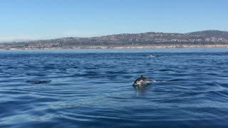 Dolphins at Newport Beach