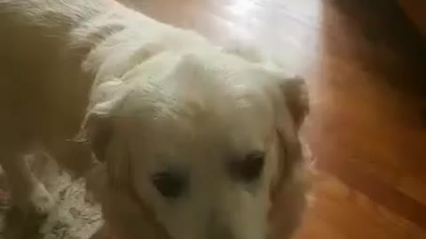 11 year old golden retriever acts like an 11 month old puppy when he hears this word