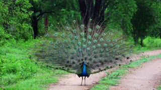 Stunning 4K footage of peacock mating dance