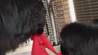 Black Dogs Fight Over Owner Red Pants