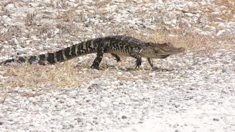 young American alligator walking