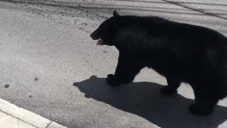 Bear Takes a Stroll Through Town