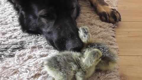 German Shepherd comforts newborn goslings