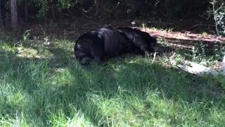 Wounded Bear Wanders Into Person's Yard - Video