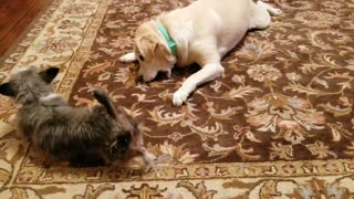 Old Dogs act like Pups