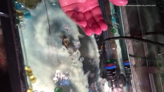 Baby turtle dropped into fish tank