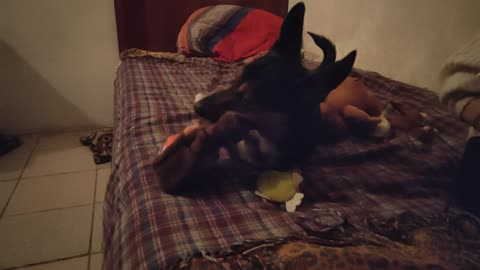 THE RIPPER DOG BREAKS HIS OWN NEW TOYS