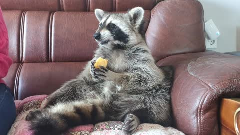 Raccoon's reaction to persimmons after a long time