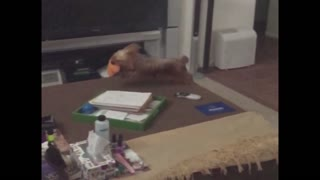 Slomo pup fails on the jump - Video