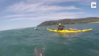 Curious Sea Lion Leaps Over Kayakers - Video