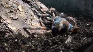 Mexican Red Knee Tarantula Molting Time-Lapse
