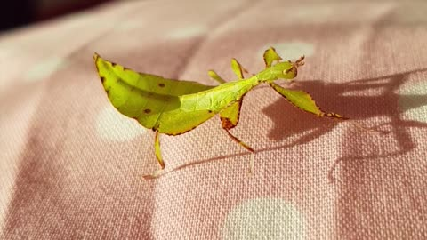 Amazing insect looks just like a leaf!